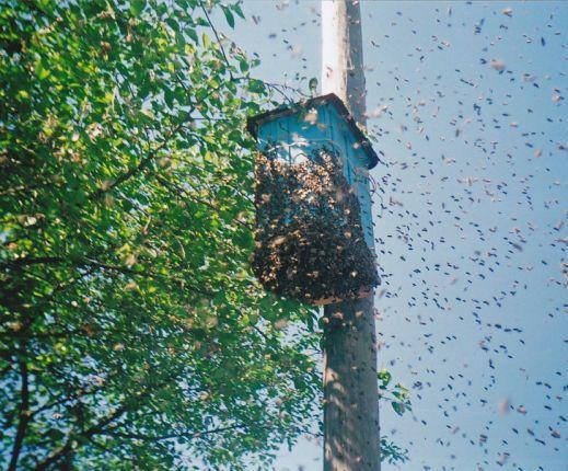Ловушка для ловли пчелиного роя