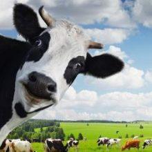 Бизнес по разведению скота на убой и молоко