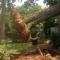 Легче сказать, чем сделать или как выкорчевать дерево вручную