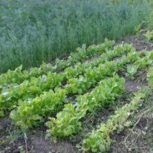 Зелень для всей семьи, самая лучшая и полезная