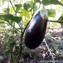 Баклажан, его особенности и выращивание