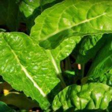Шпинат, его особенности и выращивание