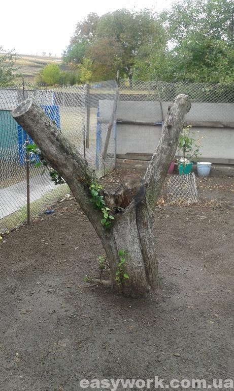 Пенек дерева до выкорчевывания (фото 1)