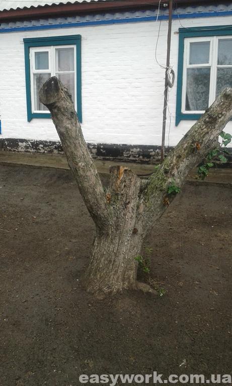 Пенек дерева до выкорчевывания (фото 2)
