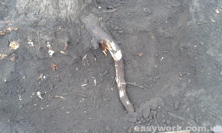Очищенный корень дерева от земли