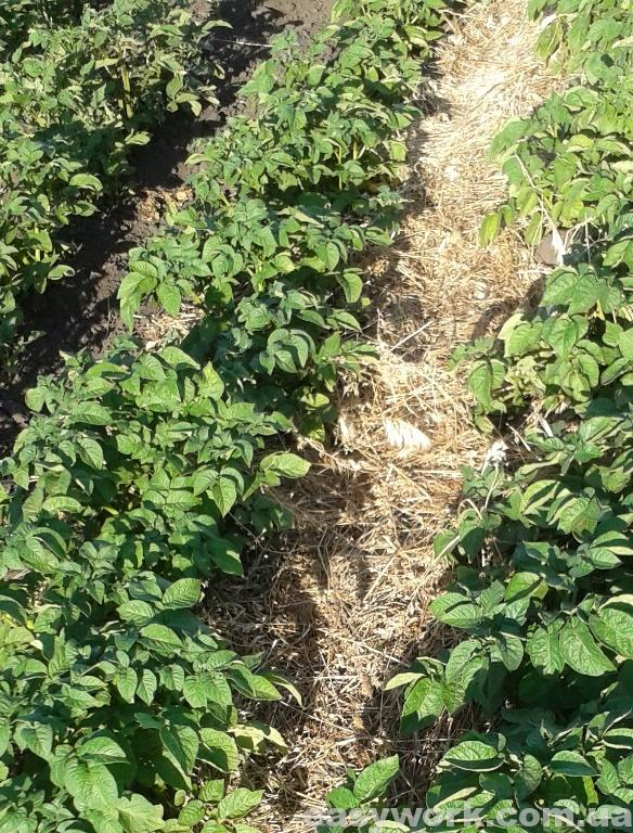 Мульчирование картошки (фото 2)