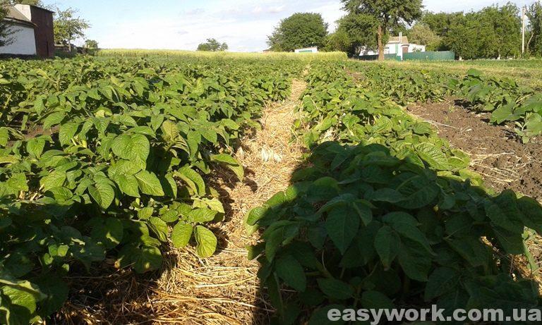 Мульчирование картошки (фото 3)