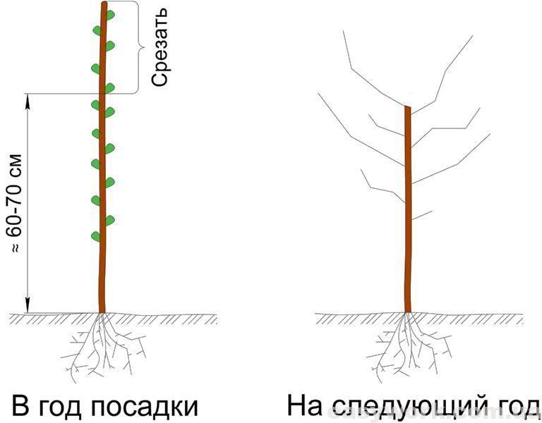 Подрезка дерева после посадки