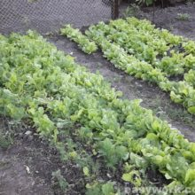 Салат, его свойства и выращивание