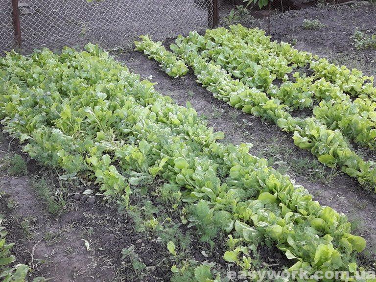 Салат на грядке